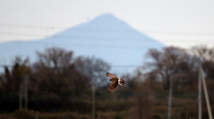ハイイロチュウヒ雌の飛翔 その8_f0239515_18272734.jpg