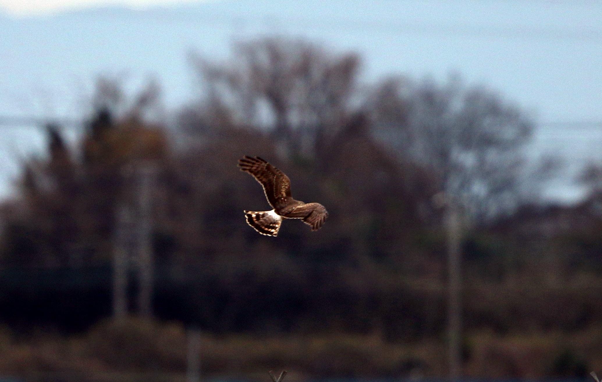 ハイイロチュウヒ雌の飛翔 その8_f0239515_18274375.jpg
