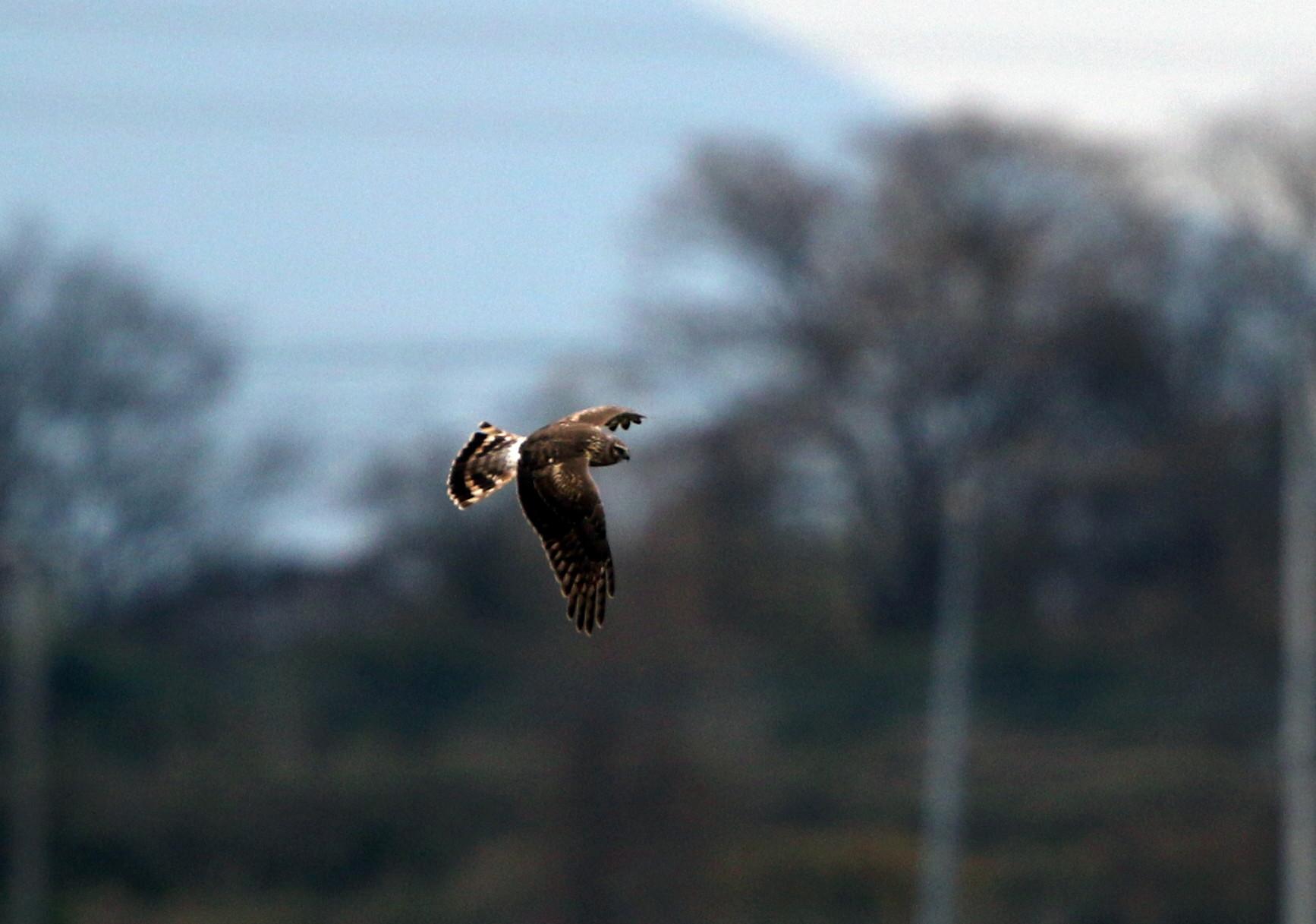 ハイイロチュウヒ雌の飛翔 その8_f0239515_18275781.jpg