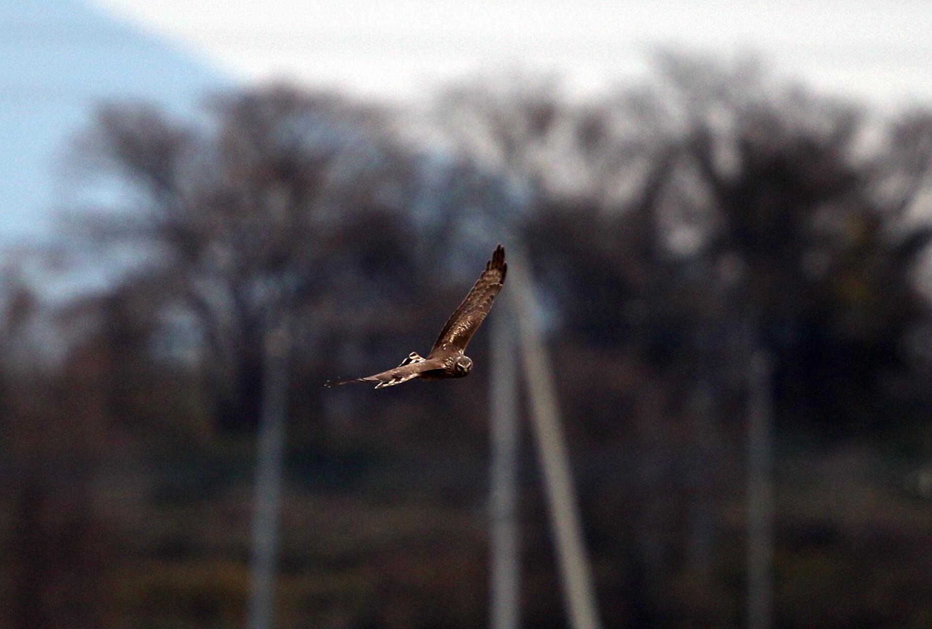 ハイイロチュウヒ雌の飛翔 その8_f0239515_1828212.jpg