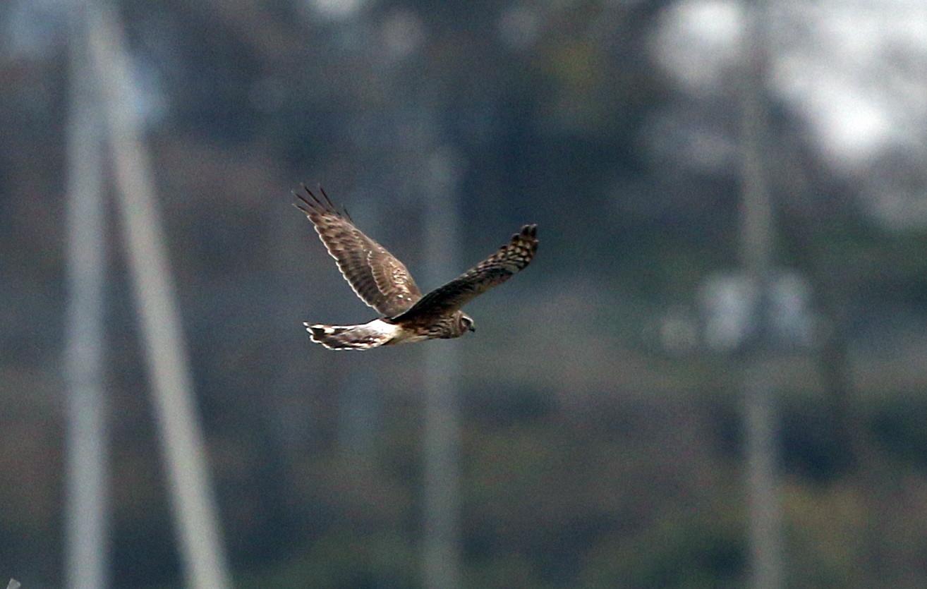 ハイイロチュウヒ雌の飛翔 その8_f0239515_18284854.jpg