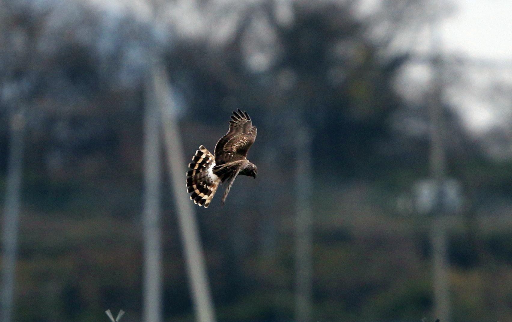 ハイイロチュウヒ雌の飛翔 その8_f0239515_18292267.jpg