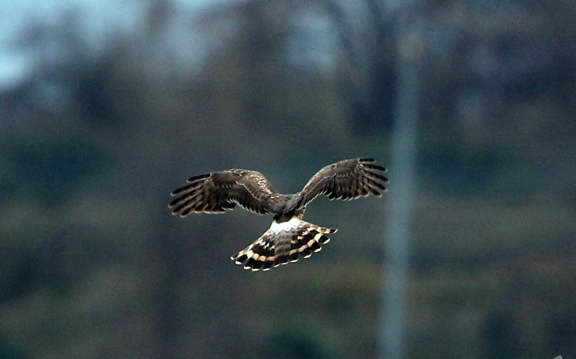 ハイイロチュウヒ雌の飛翔 その8_f0239515_18293996.jpg