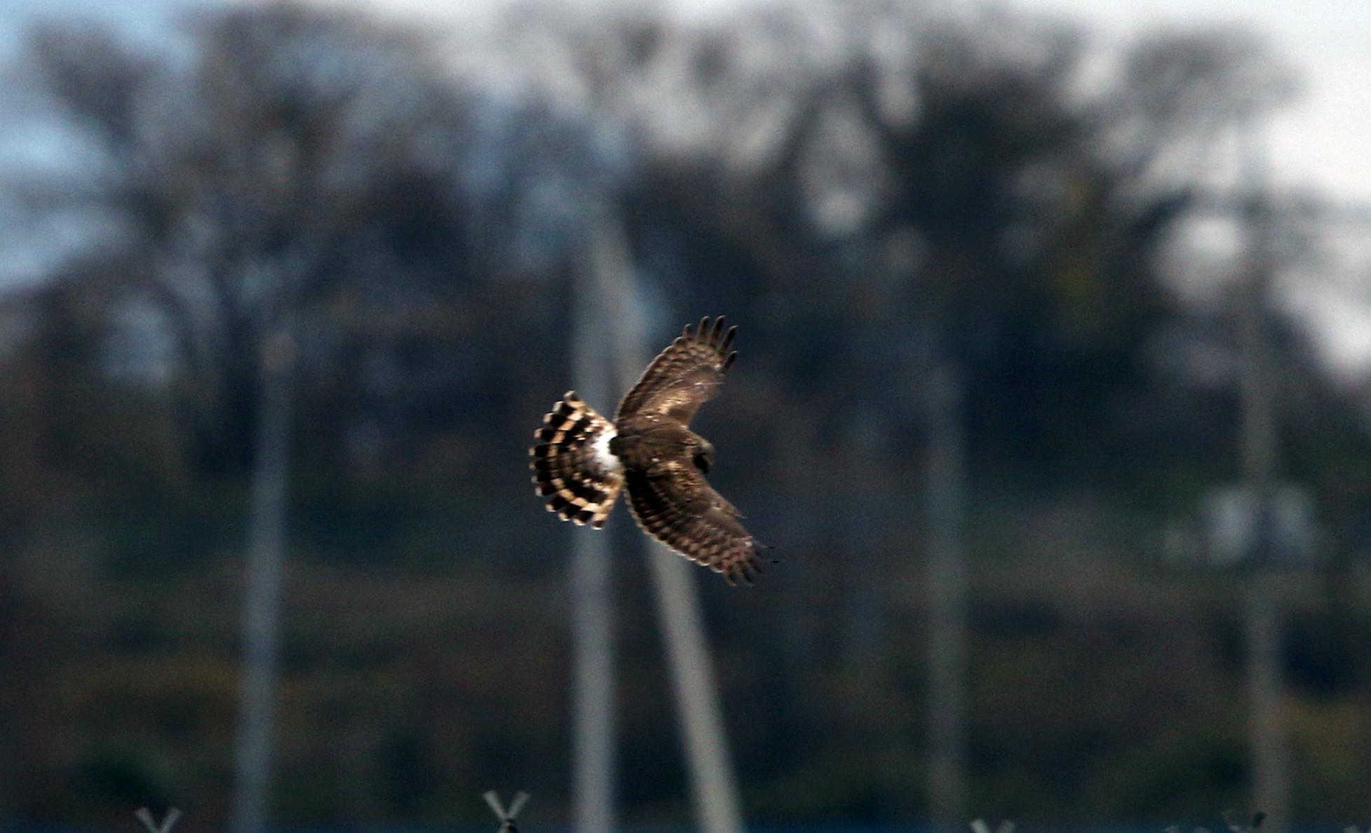 ハイイロチュウヒ雌の飛翔 その8_f0239515_1829644.jpg