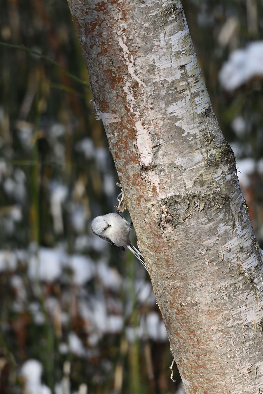 シマエナガ、樹液を舐める。_a0145819_16552328.jpg