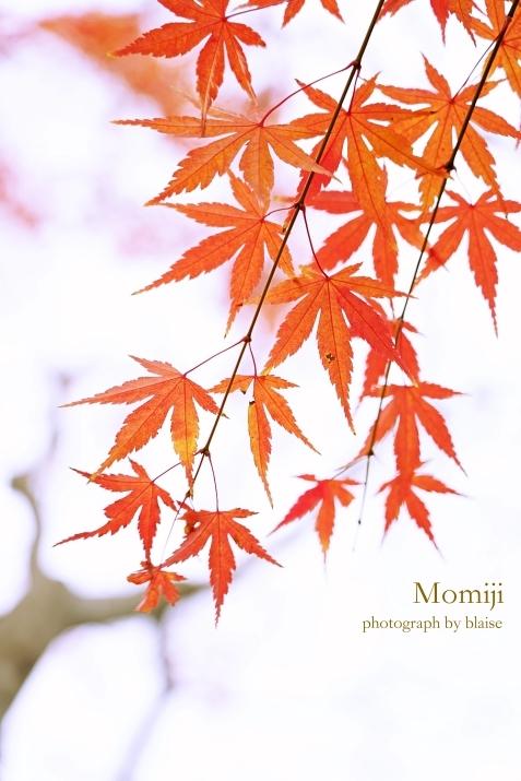 Momiji_d0165225_21415951.jpg