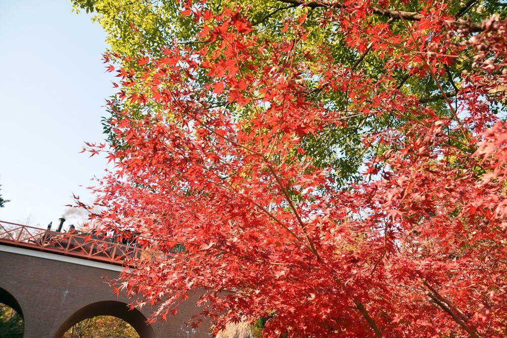 沿線の紅葉と9号機関車_e0373930_22224503.jpg