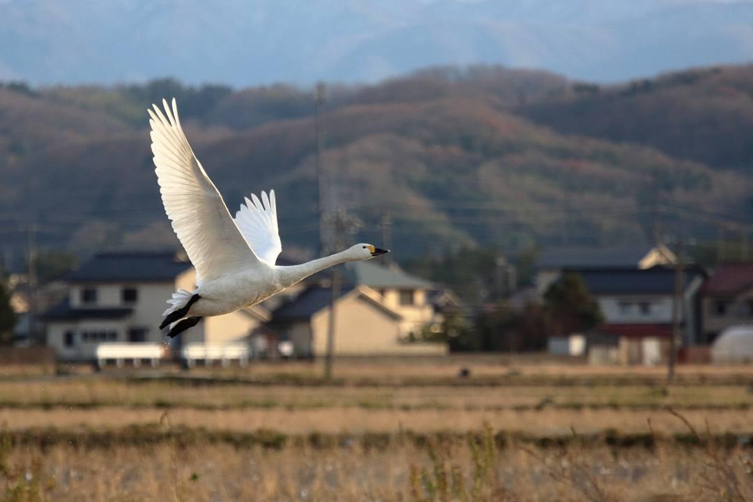 金沢の白鳥 12/13 その4 / ♪ディオンヌ&フレンズ「愛のハーモニー」_e0403850_21263082.jpg