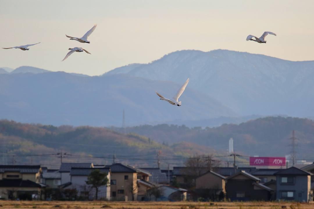 金沢の白鳥 12/13 その4 / ♪ディオンヌ&フレンズ「愛のハーモニー」_e0403850_21263762.jpg