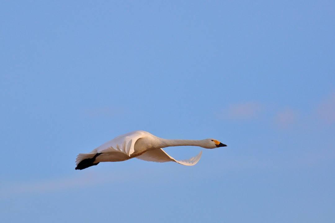 金沢の白鳥 12/13 その4 / ♪ディオンヌ&フレンズ「愛のハーモニー」_e0403850_21270648.jpg