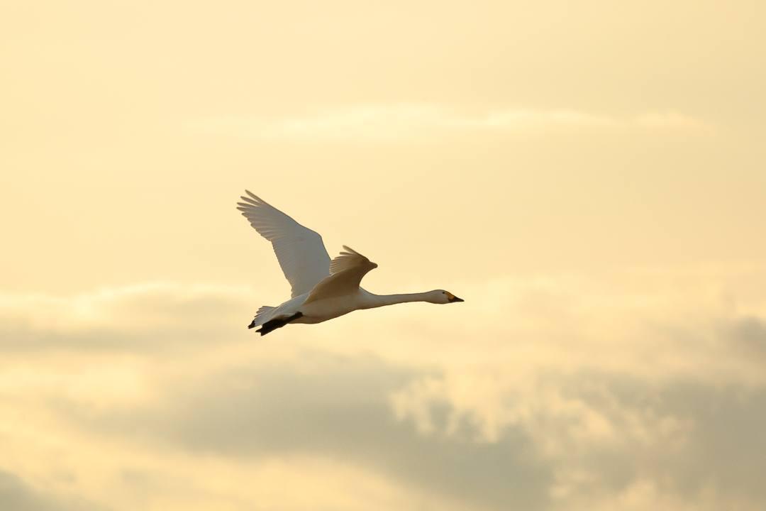 金沢の白鳥 12/13 その4 / ♪ディオンヌ&フレンズ「愛のハーモニー」_e0403850_21271271.jpg