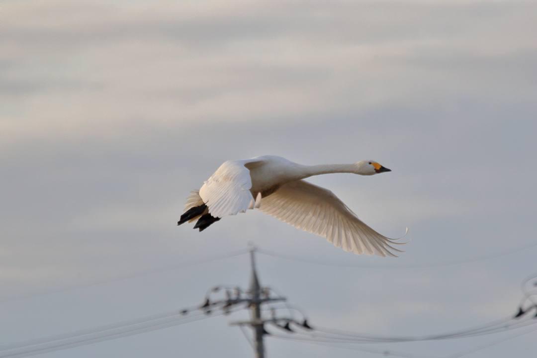 金沢の白鳥 12/13 その4 / ♪ディオンヌ&フレンズ「愛のハーモニー」_e0403850_21272557.jpg