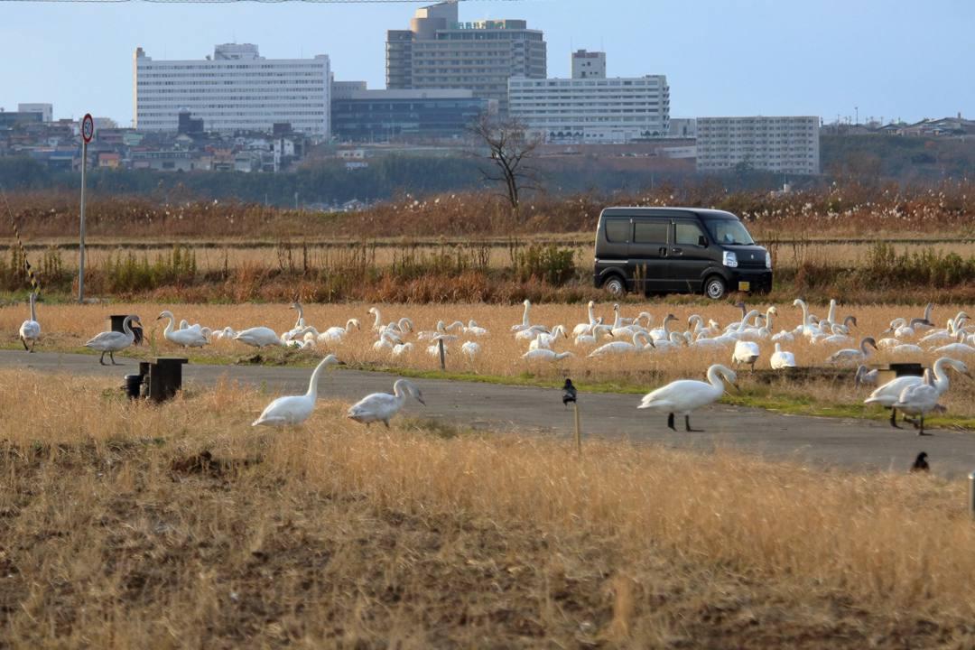 金沢の白鳥 12/13 その4 / ♪ディオンヌ&フレンズ「愛のハーモニー」_e0403850_21272674.jpg