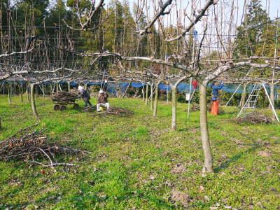 熊本梨 本藤果樹園 令和2年度の梨作りスタート!匠の選定作業が始まりました!(前編)_a0254656_17101596.jpg