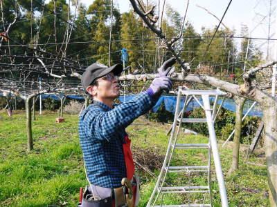 熊本梨 本藤果樹園 令和2年度の梨作りスタート!匠の選定作業が始まりました!(前編)_a0254656_17274716.jpg