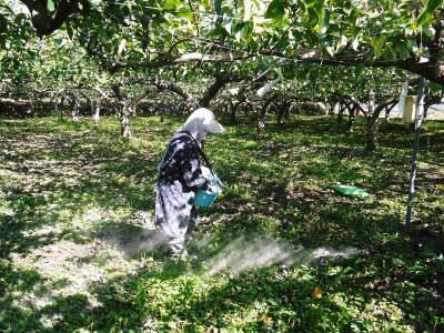 熊本梨 本藤果樹園 令和2年度の梨作りスタート!匠の選定作業が始まりました!(前編)_a0254656_17343808.jpg