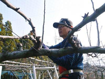 熊本梨 本藤果樹園 令和2年度の梨作りスタート!匠の選定作業が始まりました!(前編)_a0254656_18070858.jpg