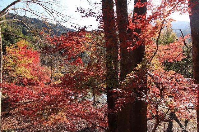 五十鈴川上流の紅葉(その2)(撮影:12月1日)_e0321325_14320143.jpg