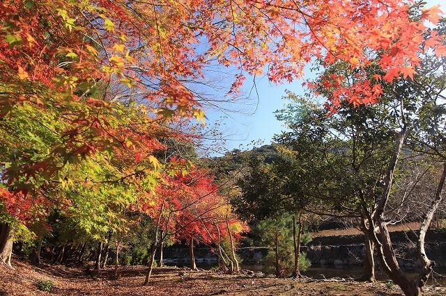 五十鈴川上流の紅葉(その2)(撮影:12月1日)_e0321325_14321382.jpg