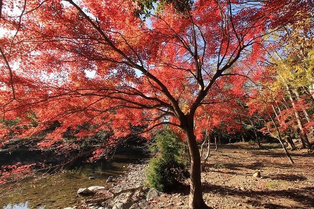 五十鈴川上流の紅葉(その2)(撮影:12月1日)_e0321325_14341651.jpg