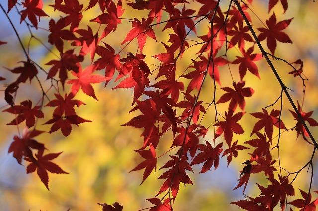 五十鈴川上流の紅葉(その2)(撮影:12月1日)_e0321325_14343022.jpg