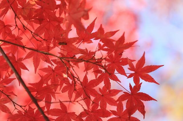 五十鈴川上流の紅葉(その2)(撮影:12月1日)_e0321325_14344274.jpg