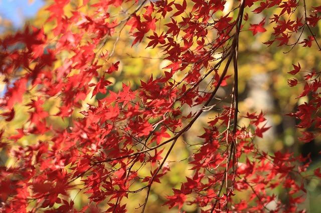 五十鈴川上流の紅葉(その2)(撮影:12月1日)_e0321325_14345452.jpg