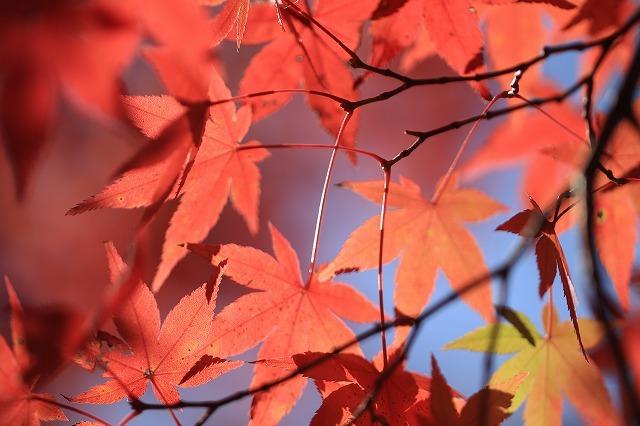 五十鈴川上流の紅葉(その2)(撮影:12月1日)_e0321325_14353128.jpg