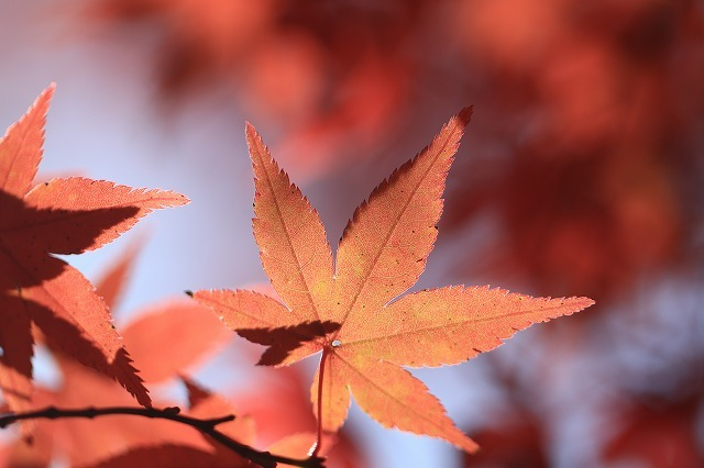五十鈴川上流の紅葉(その2)(撮影:12月1日)_e0321325_14354477.jpg