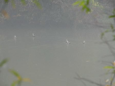 霧の万木堰_a0123836_16584662.jpg