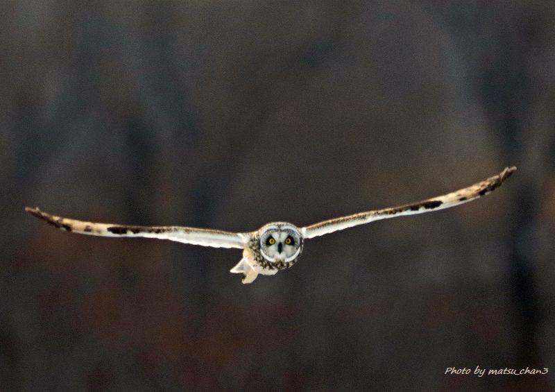 コミミズク Short-eared Owl_c0070654_08570297.jpg