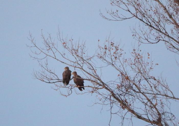 オジロワシ White-tailed Eagle_c0070654_09415342.jpg