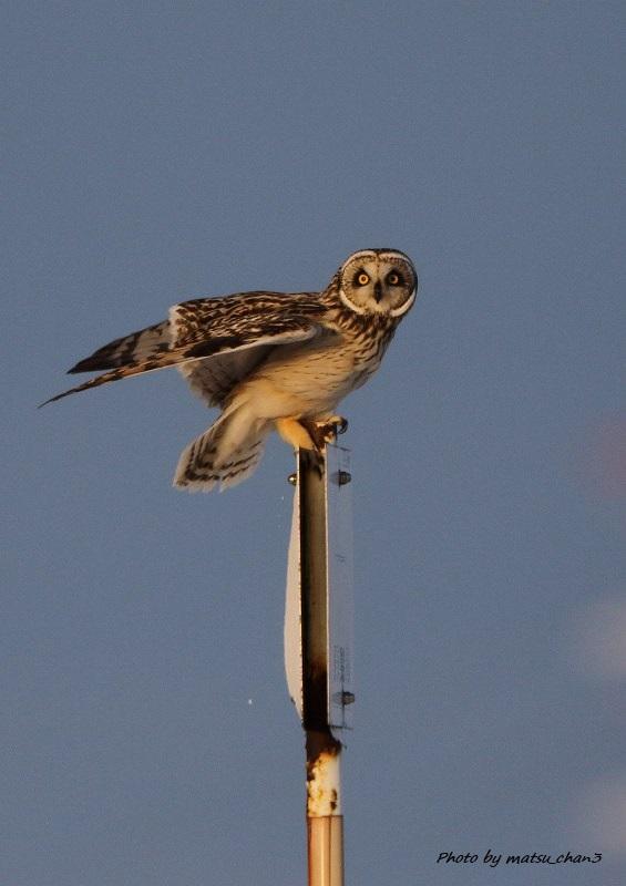 コミミズク   Short-eared Owl_c0070654_15132257.jpg