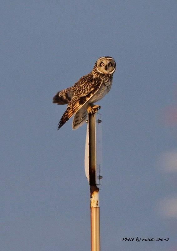 コミミズク   Short-eared Owl_c0070654_15134859.jpg