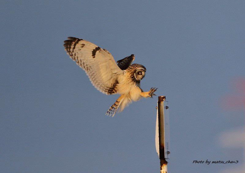 コミミズク   Short-eared Owl_c0070654_15355295.jpg