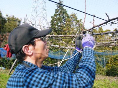 熊本梨 本藤果樹園 令和2年度の梨作りスタート!匠の選定作業が始まりました!(前編)_a0254656_16482146.jpg