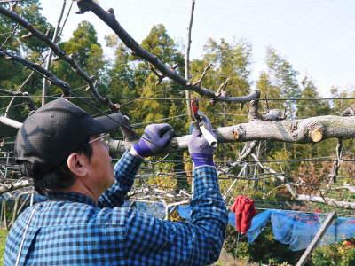 熊本梨 本藤果樹園 令和2年度の梨作りスタート!匠の選定作業が始まりました!(前編)_a0254656_16582905.jpg