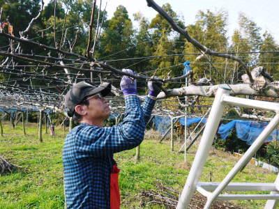 熊本梨 本藤果樹園 令和2年度の梨作りスタート!匠の選定作業が始まりました!(前編)_a0254656_17004685.jpg
