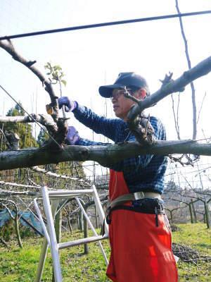 熊本梨 本藤果樹園 令和2年度の梨作りスタート!匠の選定作業が始まりました!(前編)_a0254656_17242368.jpg