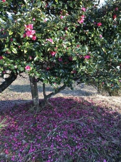 『裏山の梅の木と山茶花の花と』&『テーブルの上の豆苗』_c0334574_20113977.jpg