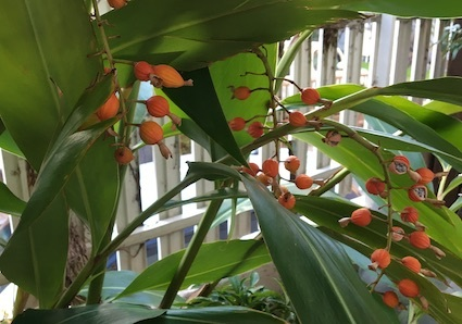 月桃を収穫_b0011075_18582426.jpg