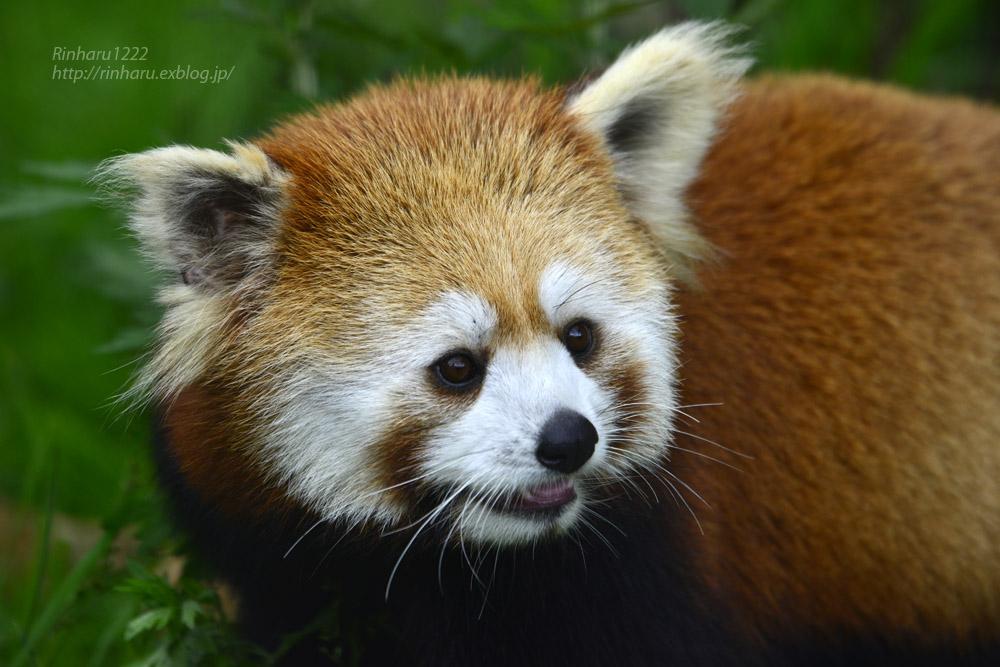 2019.7.13 東北サファリパーク☆レッサーパンダのシーリィウとランファ<前編>【 Lesser panda】_f0250322_2036115.jpg