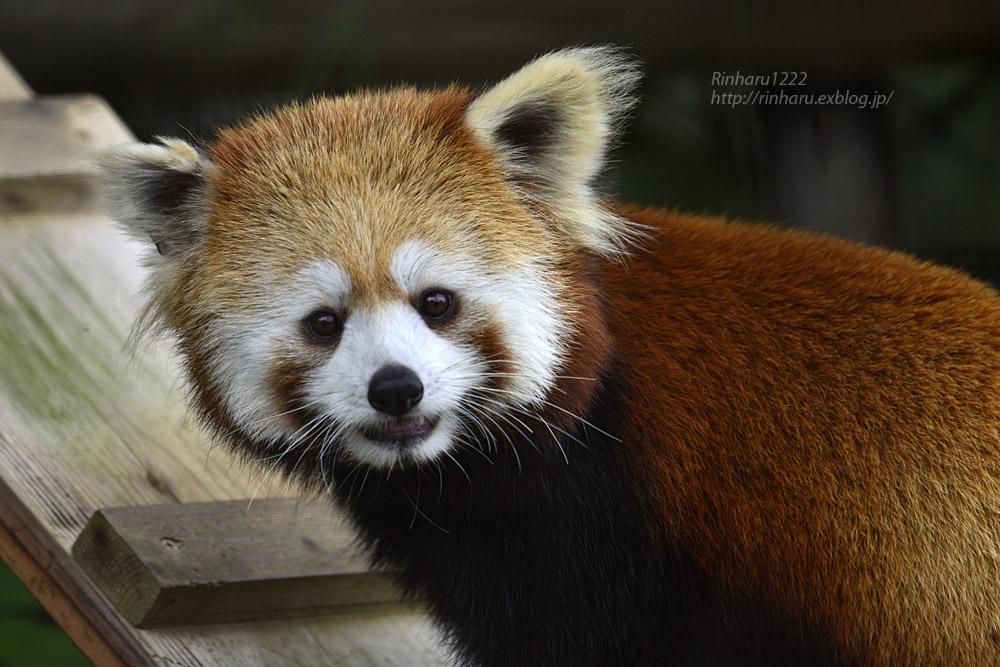 2019.7.13 東北サファリパーク☆レッサーパンダのシーリィウとランファ<前編>【 Lesser panda】_f0250322_20362771.jpg