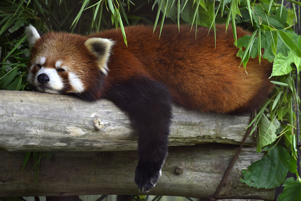 2019.7.13 東北サファリパーク☆レッサーパンダのシーリィウとランファ<前編>【 Lesser panda】_f0250322_20364893.jpg