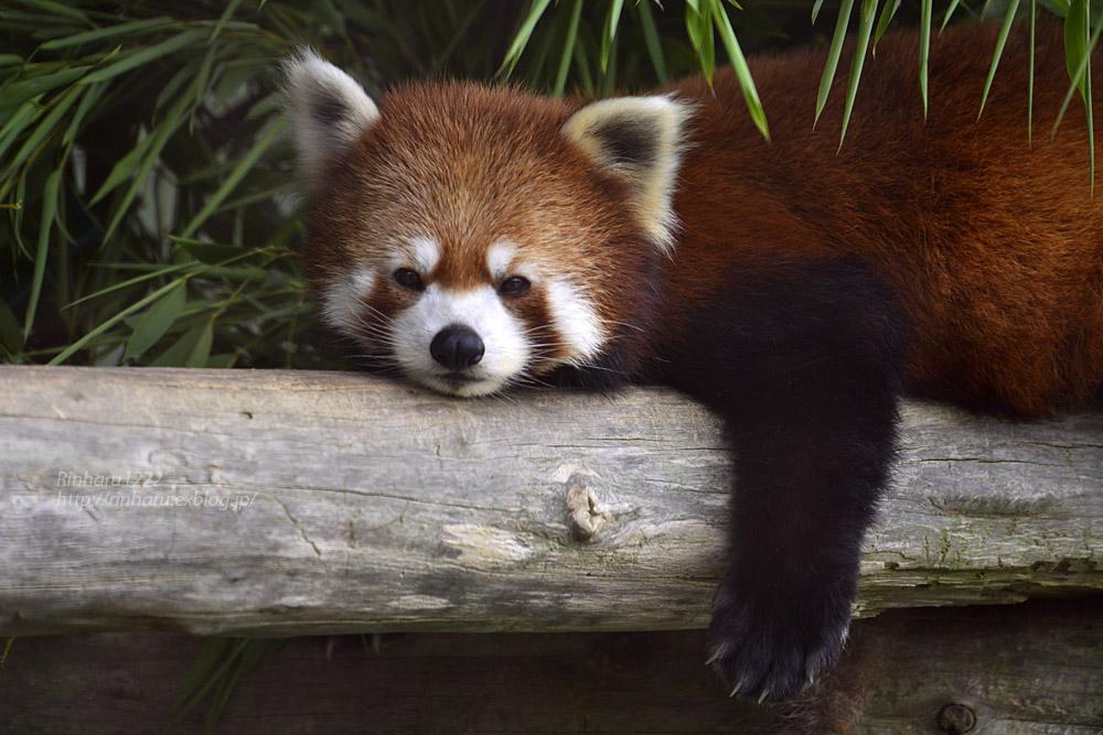 2019.7.13 東北サファリパーク☆レッサーパンダのシーリィウとランファ<前編>【 Lesser panda】_f0250322_20365569.jpg