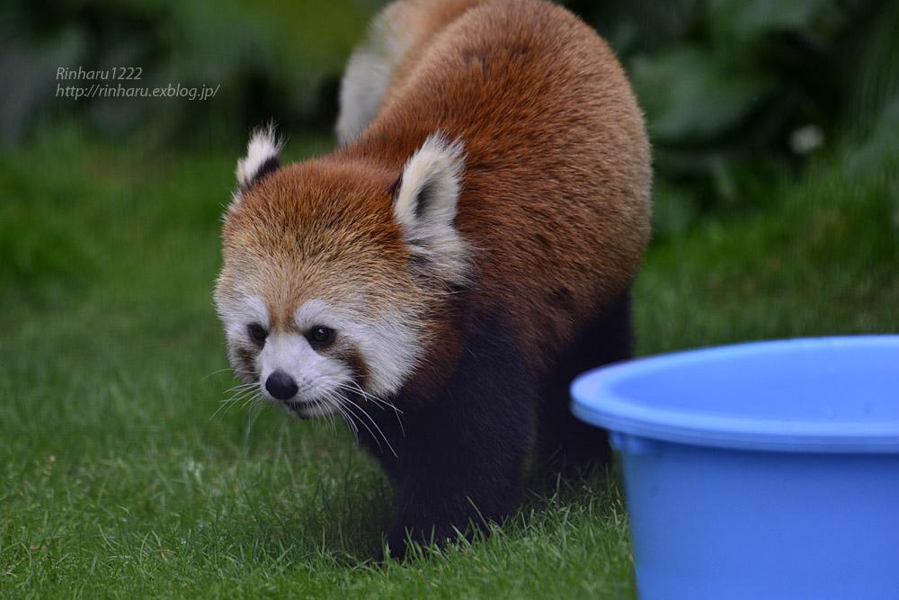 2019.7.13 東北サファリパーク☆レッサーパンダのシーリィウとランファ<前編>【 Lesser panda】_f0250322_20371870.jpg