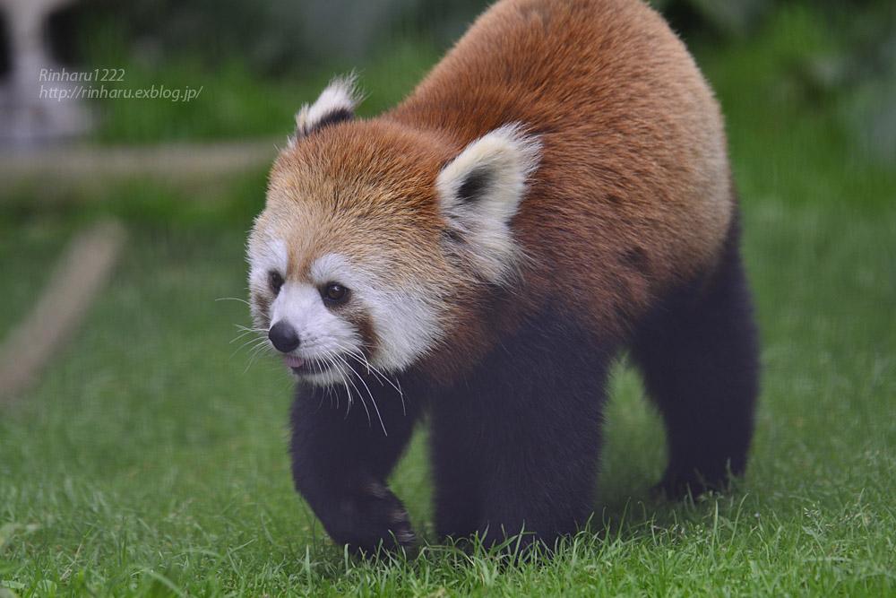 2019.7.13 東北サファリパーク☆レッサーパンダのシーリィウとランファ<前編>【 Lesser panda】_f0250322_2037943.jpg