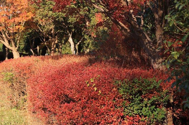 多気PAの紅葉(撮影:12月1日)_e0321325_14483774.jpg