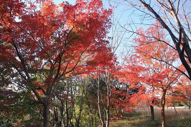 多気PAの紅葉(撮影:12月1日)_e0321325_14485194.jpg