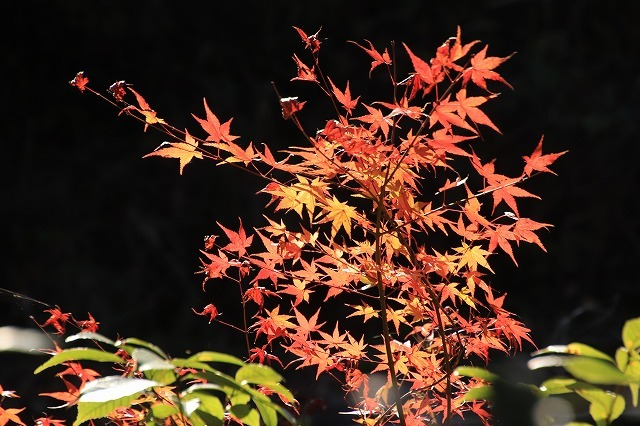 多気PAの紅葉(撮影:12月1日)_e0321325_14492885.jpg